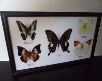 Real Butterflies Framed Display Taxidermy Lepidoptera Entomology Collectables