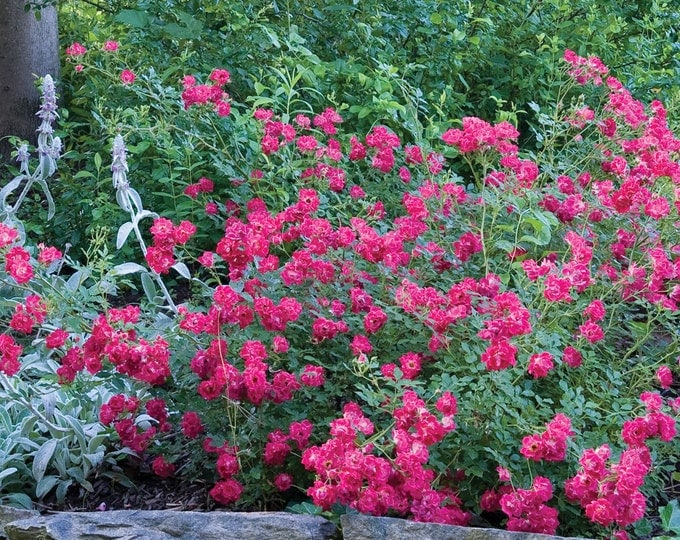 Red Drift ® Rose Bush - Repeat Blooming Low Maintenance Plant Red Flowers Grown Organic Potted - Own Root Non-GMO - Spring Shipping