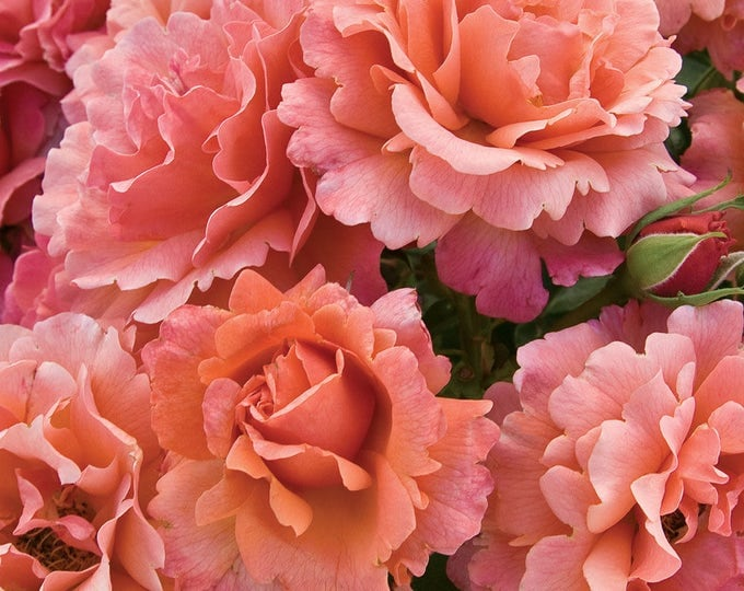 Easy Does It Rose Bush Fragrant Floribunda Rose Grown Organic Plant Potted Pink Apricot Flowers - Own Root Easy To Grow!