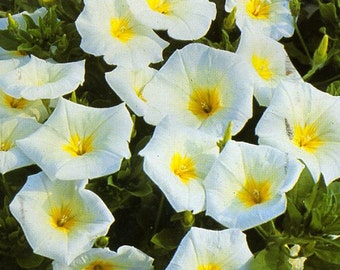 AIPCO) ENSIGN WHITE Convolulus~Seeds!~~~~Beautiful Accent Flowers!!