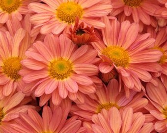 PBCHR) PEACH CHRYSANTHEMUM~Seed!!~~~~~~~A Wonderful Autumn Beauty!
