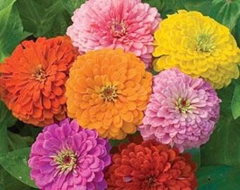 AZ)~CALIFORNIA GIANTS Mix Zinnia~Seeds!!!~~~~~~~~Big, Beautiful Flowers!