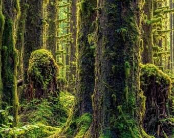 Hoh Rain Forest Olympic National Park Washington Trees Moss Fine Art Photography Rain Forest Color Portrait Nature