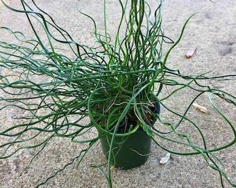 Corkscrew Plant, Corkscrew Garden, A Nature Spiralis Twisted Plant