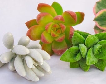 Gorgeous Succulent Cuttings