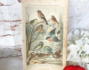 Antique 1894 Birds Chromolithograph Print, Vintage 1800's Color Book Plate, Songbird, Sparrow lithograph Art illustration Animal ornithology