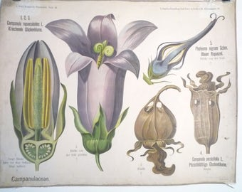 Rare antique German Botanical School Wall Chart Biology Botany Flower Plant Anatomy 1910 Albert PETER Berlin Campanula bellflower Bluebell