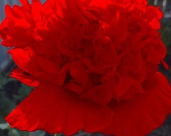 Poppy 'Red Peony' Seeds