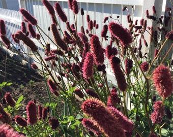 Alaskan Burnet Seeds