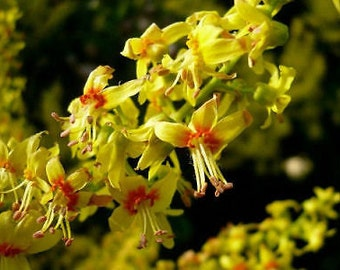 Koelreuteria paniculata or Golden Rain Tree Quart plant FREE SHIP