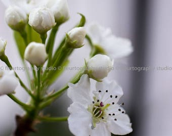 flower photography | cherry blossoms | custom sizes available | fine art photography