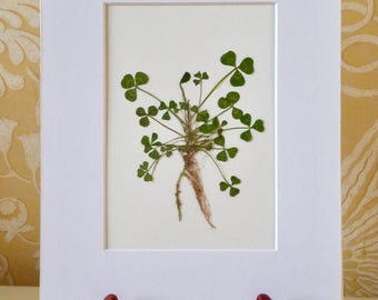 Real Pressed Leaf Botanical Art Herbarium of White Clover 8x10