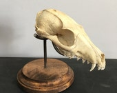 Small animal skull display, fox, raccoon, bobcat, coyote, beaver, cat. SKULL NOT INCLUDED