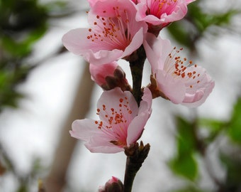 Peach Blossoms Prints, Fine Art Photography, Floral Decor, Home Decor, Wall Decor, FREE SHIPPING,Flower Photography, Flower Art, Blossoms