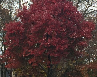 Fall leaves photography of Red Maple Tree