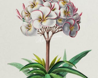 flowers-18112 - plumeria primo white plumieria image digital download flowering blooming plant leaves public domain picture book page paper