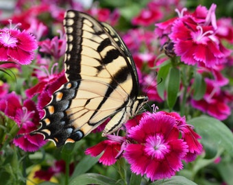 Butterfly On Pink Flowers #700