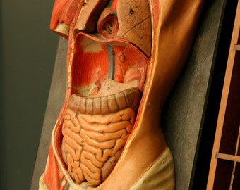 Plaster anatomical model, Paris, early 20th century, teaching aid, ecorche