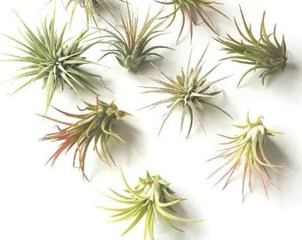 "Air Plant ""Ionantha"" Mix, Tillandsia"