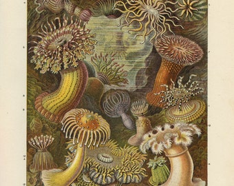 Vintage 1907 Book Plate — Sea Anemones