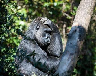 Gorilla, Monkey, Confused Monkey, Animals, Woodland Park, Washington, Photograph