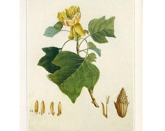 Tulip Tree Print  Book Plate SALE~~Buy 3, get 1 Free