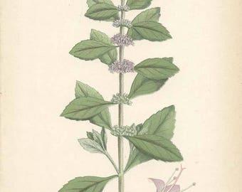 WILD MINT - 1905 Botanical Book Plate 88 Bilder ur Nordens Flora