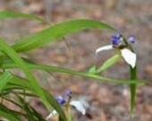 Adult Walking Iris Plant, Live Twelve Apostles Plant, Neomarica Gracilis Organically Grown Plant