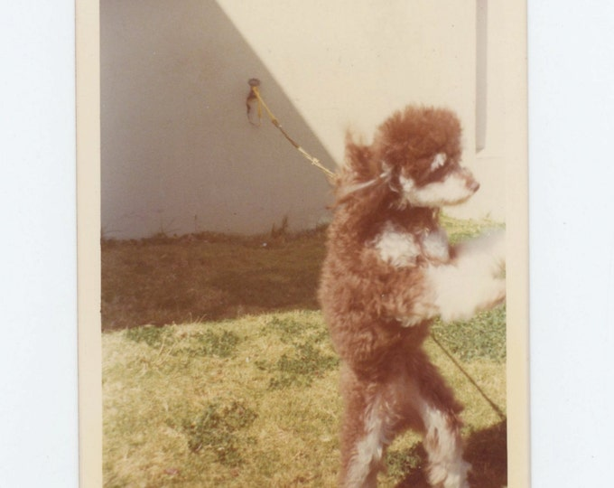 Vintage Snapshot Photo: Dog Tied to Wall, c1970s (612535)
