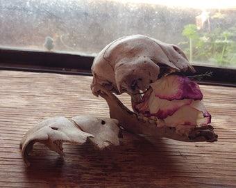 Partial Lamb Skeleton // Real Bone