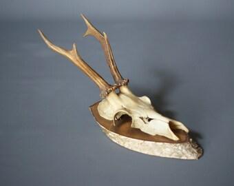 MOUNTED DEER ANTLERS 1955, Six Point, Wood Mounted Antlers, Switzerland, Mounted Deer Skull, Swiss Rustic Modern, Modern Rustic Decor