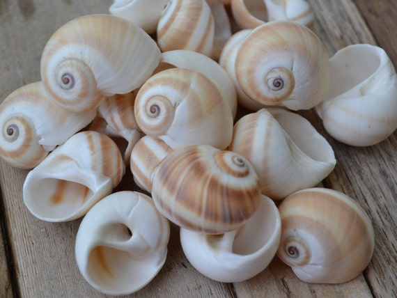 Shark Eye Shells Moon Shells 1 25 2 Quot 10 Pieces From