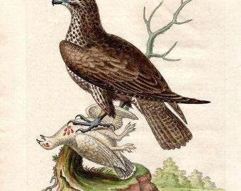 1743 Ash Colored Hawk Antique Hawk Print George Edwards Hand Colored Copper Plate Bird Engraving Vintage Bird Print