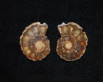 Sliced Polished Small Ammonite