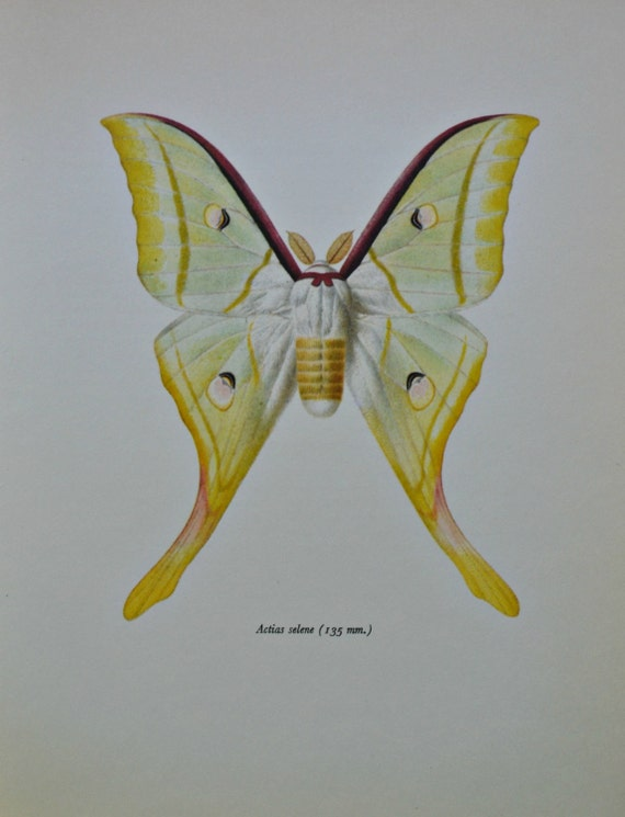 Indian moon moth. Indian luna moth. Actias selene. Vintage color book plate. Old print. 1966 illustration. 8 x 10'1 inches. Butterfly print.