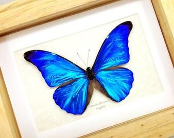 FREE SHIPPING Real Framed Morpho Rhetenor or The Rhetenor Blue Morpho Butterfly Taxidermy High Quality A1-