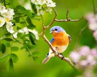Bluebird Picture, Wildlife Photography, Bird Photography, Eastern Bluebird, 11x14 Wall Art, Bird Print, Nature Photography, Summer Decor