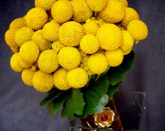 20 Yellow BILLY BUTTONS / WOLLYHEADS Craspedia Globosa Flower Seeds
