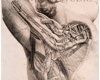 Lamina anatomical. Vessels axillary. Vaisseaux axillaires. Reproduction of drawing of the treated Anatomy of the man