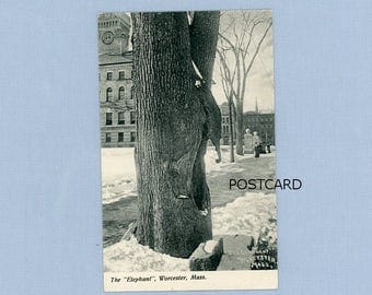 Postcard of the 'Elephant' Tree, Snowy Day, Worcester, MA, Circa 1910, Unusual Tree Feature