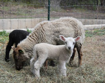 Organic Lamb's Roving Shetland/BFL Cross