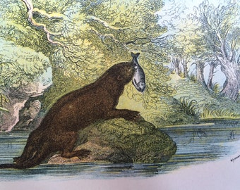 1896 Otter Antique Print, Mounted, Matted & Ready to Frame