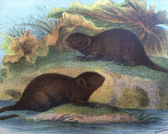 1896 Water Vole Antique Print, Mounted, Matted & Ready to Frame