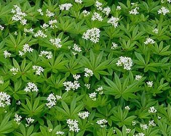 Galium odoratum 'Sweet Woodruff'