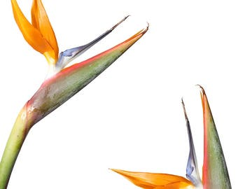 Birds Of Paradise //  Botanical Fine Art Print