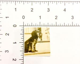 Spaniel Puppy Dog Portrait Outside Posing Vintage Photograph