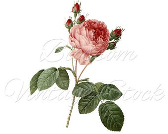 Rose Print Wall Art, Shabby CHic Rose, Redoute Rose, Vintage Rose Illustration, Printable Rose, Clipart INSTANT DOWNLOAD 2452