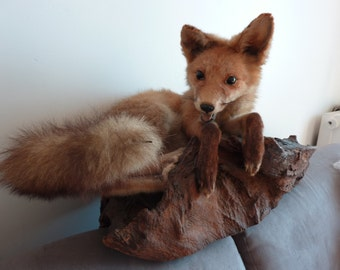 Vintage Taxidermy Young Red Fox Mounted on Wood French Fifties 50s Curiosity Brocante