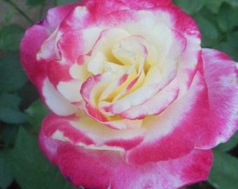 100 Seeds Pack Rare Shy Girl Rose Seeds Heirloom garden Fragrant Rose