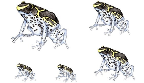 Original Artwork Clipart Page of a Fine Blue Poison Tree Frog, Card Making, Scrapbooking, Crafts